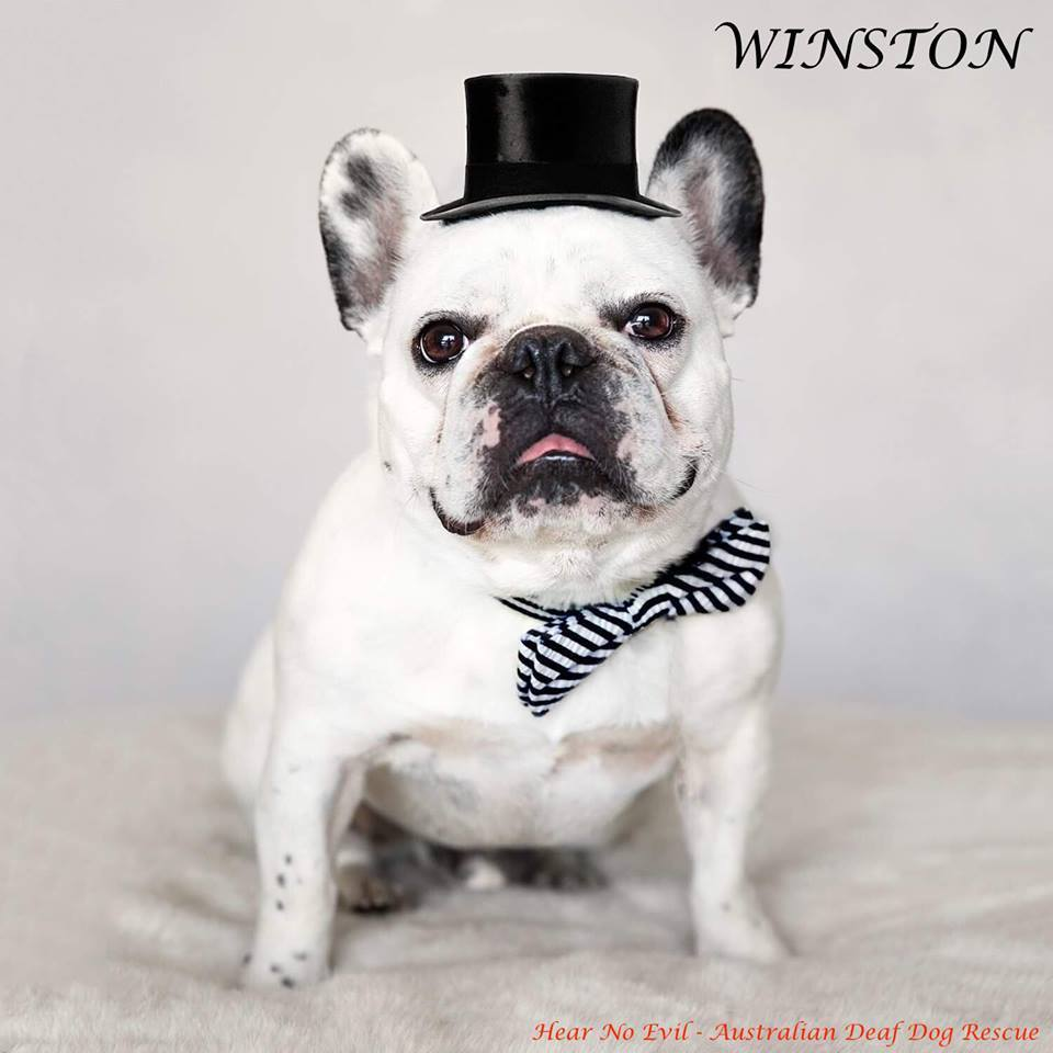 Winston deaf dog adoption