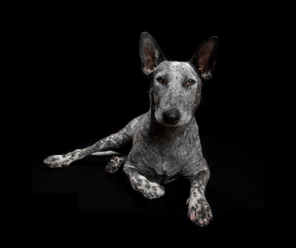 Feyre Cattle Dog X for Adoption