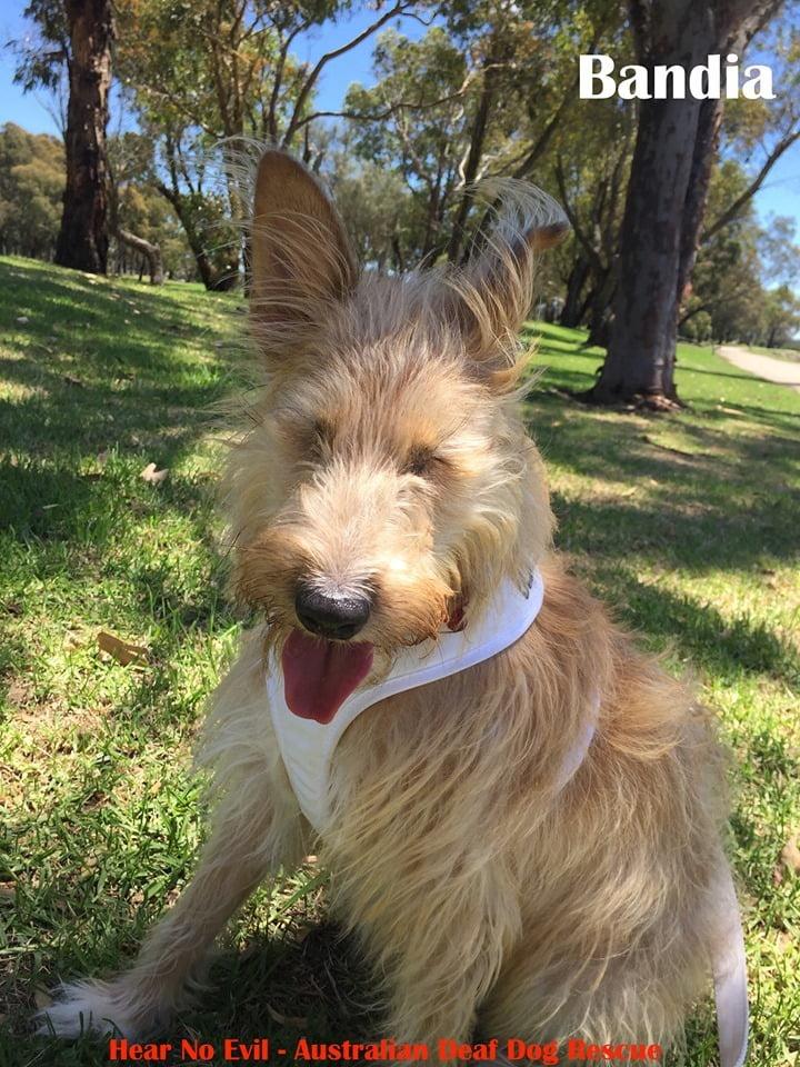 Bandia the blind dog adopt