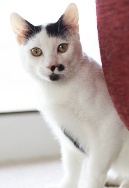 Giuseppe cat for adoption