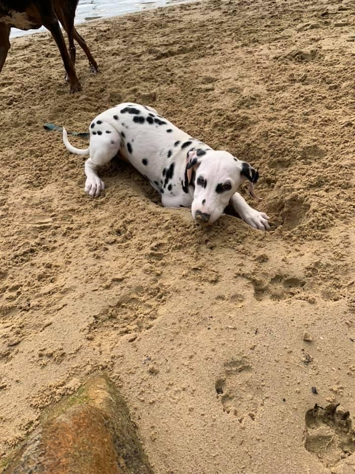 dalmatian pup for adoption