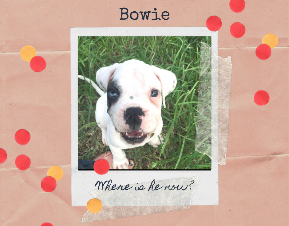 Bowie the deaf boxer pup