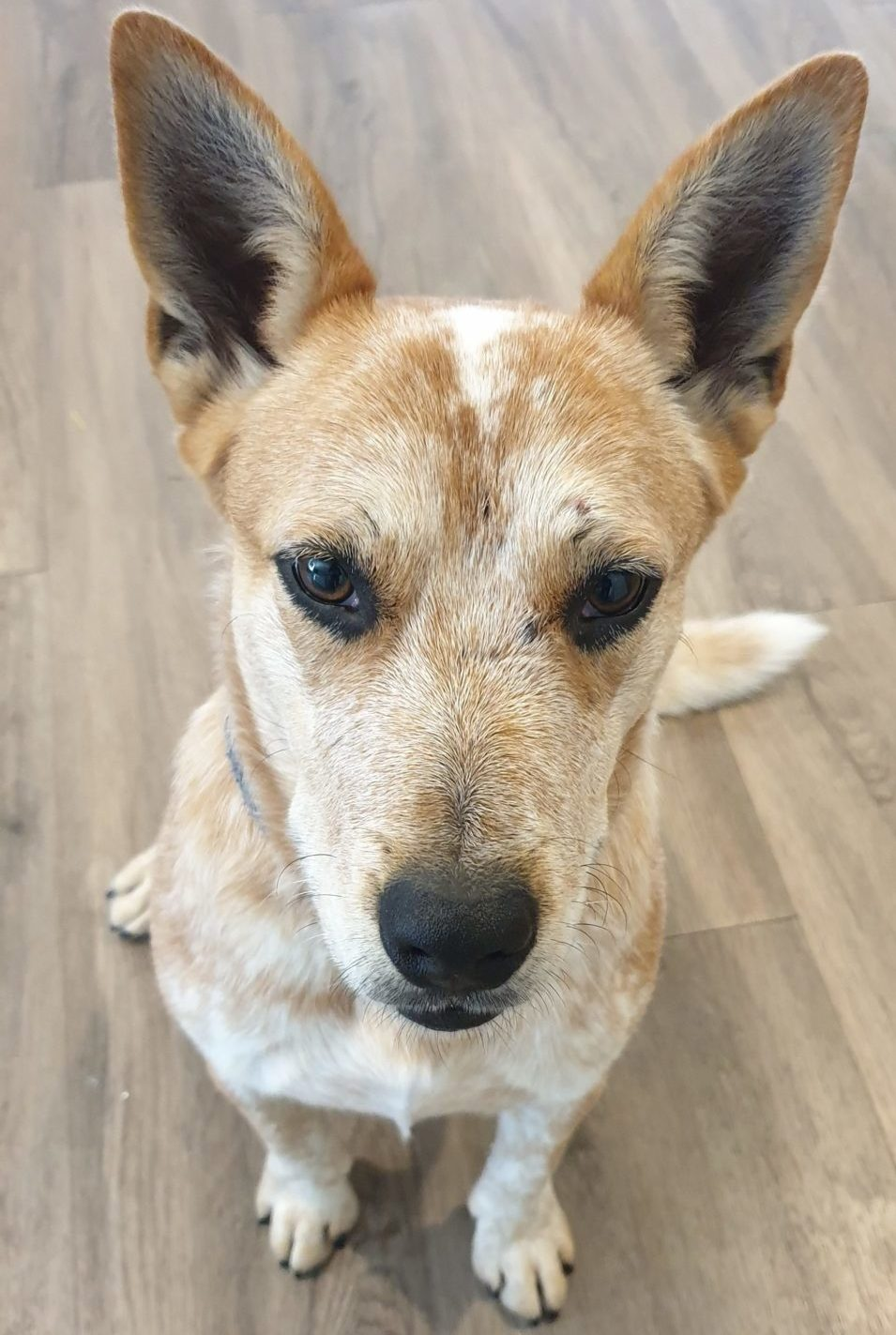 Cattle Dog for Adoption