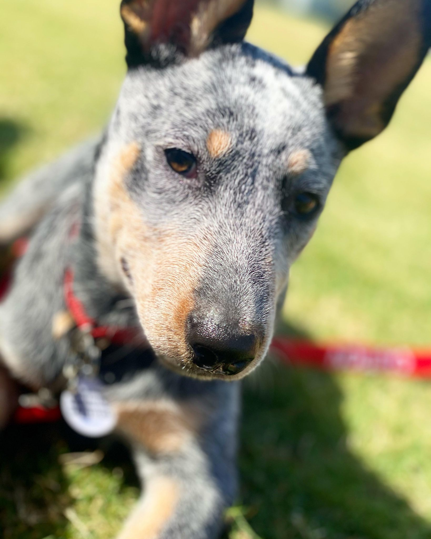 cattle dog to be adopted
