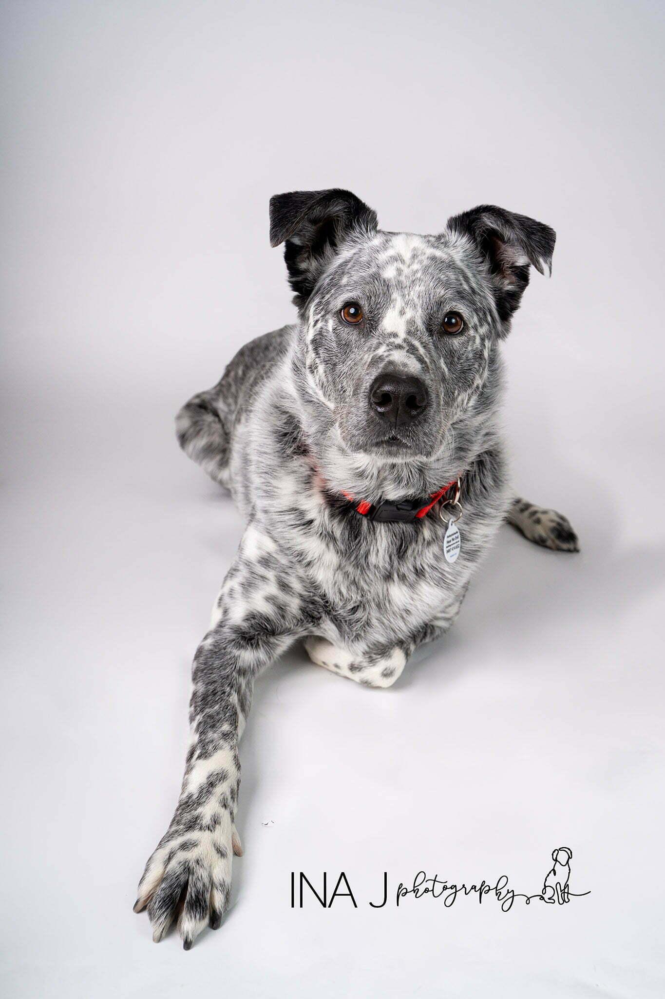 Byron deaf cattle dog